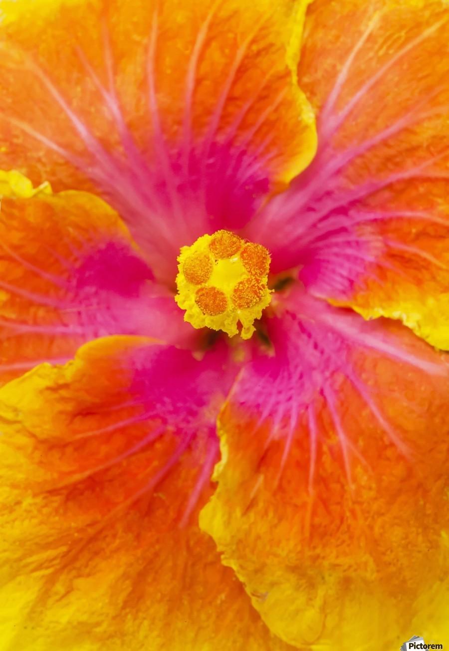 Close Up Macro Shot Of A Beautiful Orange Pink And Yellow Hibiscus