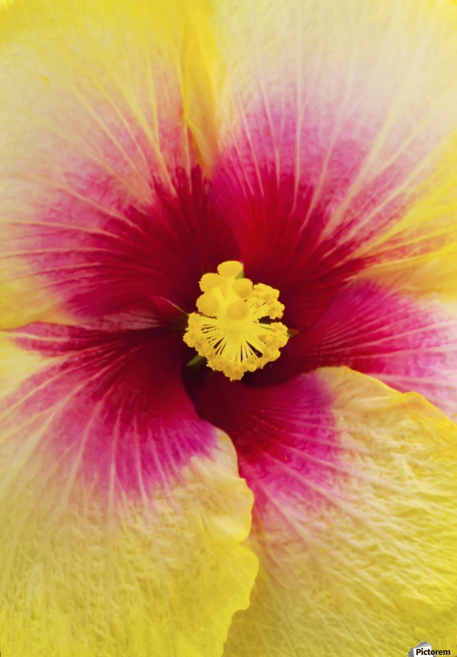 Close-up macro shot of a beautiful red and yellow Hibiscus flower; Honolulu, Oahu, Hawaii, United States of America  Print