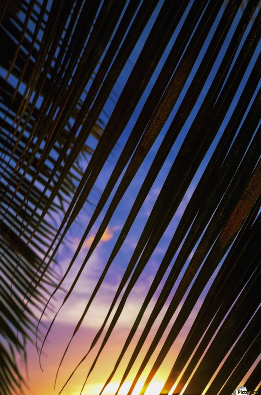 Close-up of silhouetted palm fronds with beautiful sunset color sky in the background; Honolulu, Oahu, Hawaii, United States of America  Print