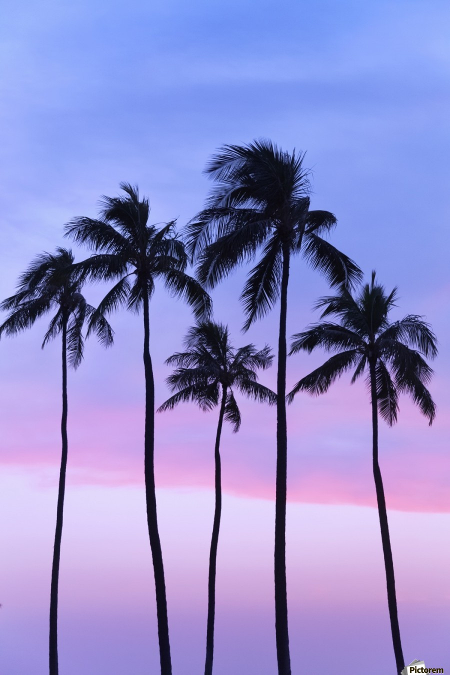 Five coconut palm trees in line with cotton candy sunset behind; Honolulu, Oahu, Hawaii, United States of America  Print