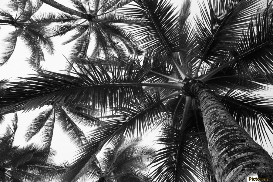 Low angle view of coconut palm trees in black and white; Honolulu, Oahu, Hawaii, United States of America  Print