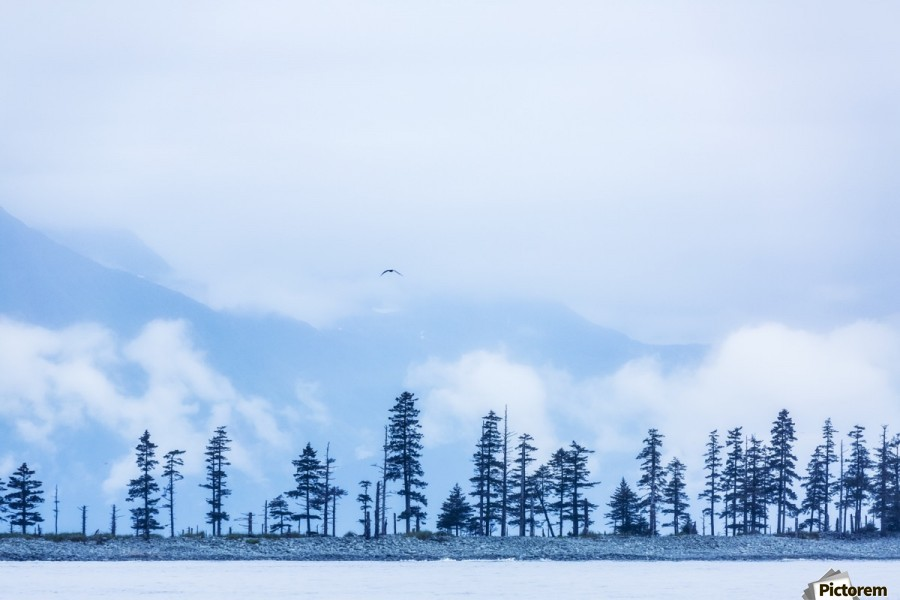 A bird flies above trees under a cloudy sky and fog on the coast of Resurrection Bay, South-central Alaska; Seward, Alaska, United States of America  Print