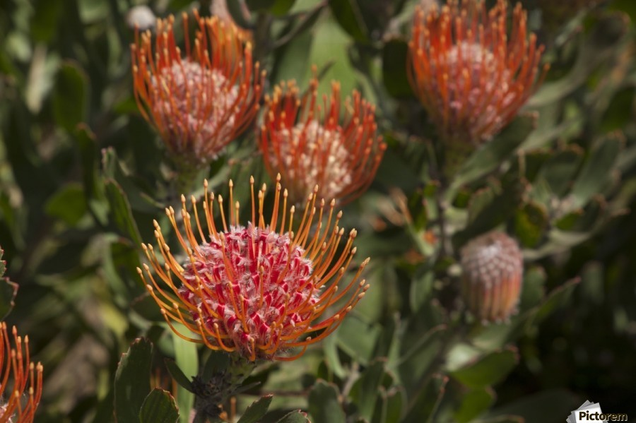Pincushion (Scabiosa) protea flower; Kula, Maui, Hawaii, United States of America  Print