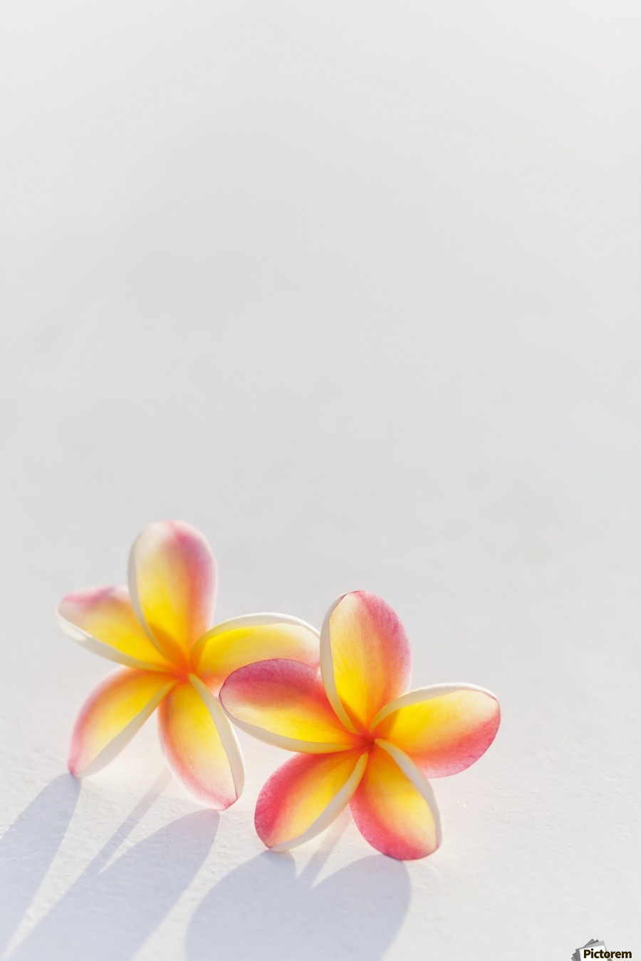 A pair of beautiful yellow and pink Plumeria flowers together (Apocynaceae) on a white background; Honolulu, Oahu, Hawaii, United States of America  Print
