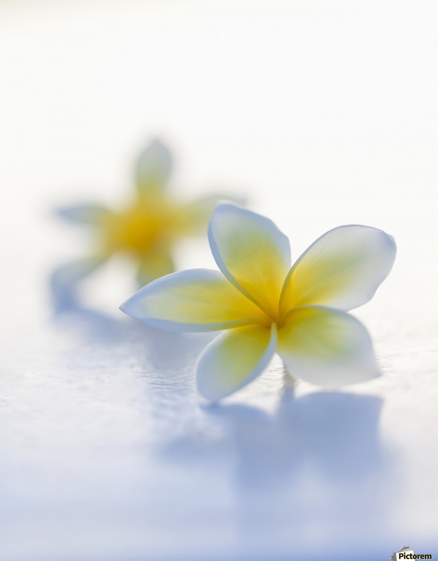 Close-up of two beautiful yellow Plumeria flowers (Apocynaceae) in soft focus; Honolulu, Oahu, Hawaii, United States of America  Print