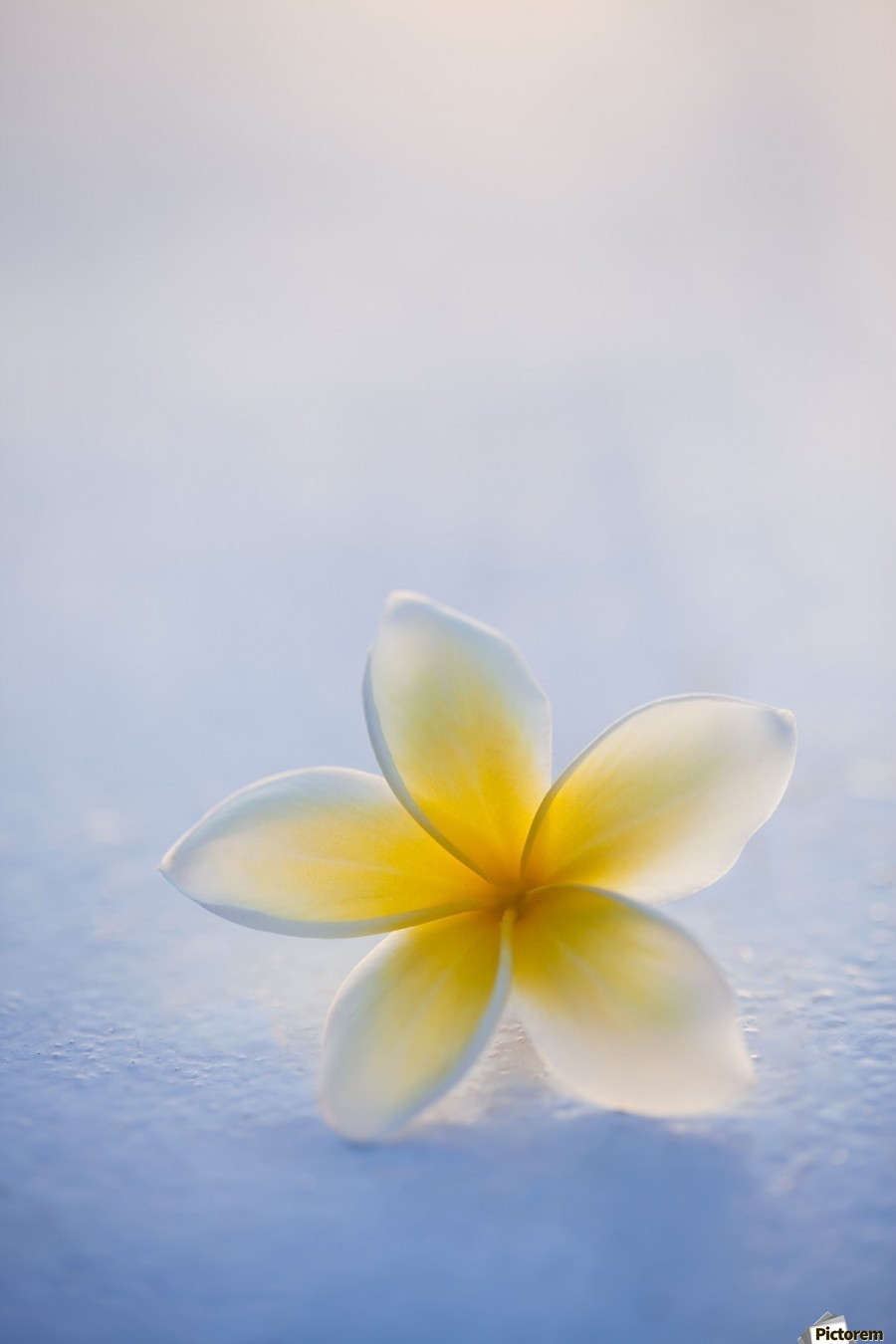 Close-up of a single beautiful yellow Plumeria flower (Apocynaceae) in soft focus; Honolulu, Oahu, Hawaii, United States of America  Print