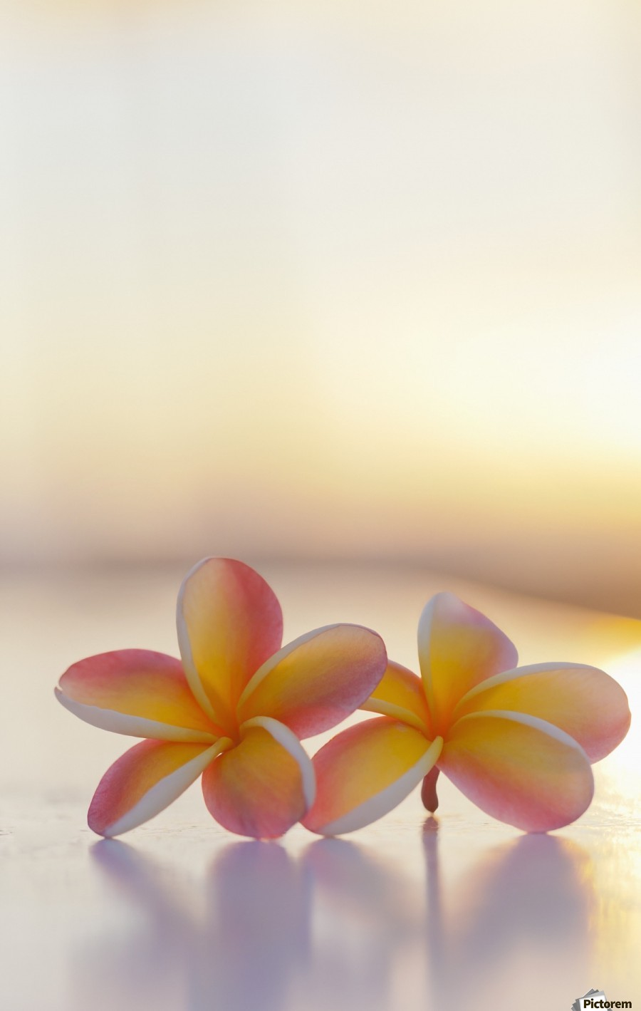 Close-up of a pair of beautiful yellow and pink Plumeria flowers (Apocynaceae) with sunset lighting the background; Honolulu, Oahu, Hawaii, United States of America  Print