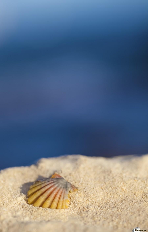 A rare rainbow color Hawaiian Sunrise Scallop Seashell, also known as Pecten Langfordi, in the sand at the beach at sunrise; Honolulu, Oahu Hawaii, United States of America  Print