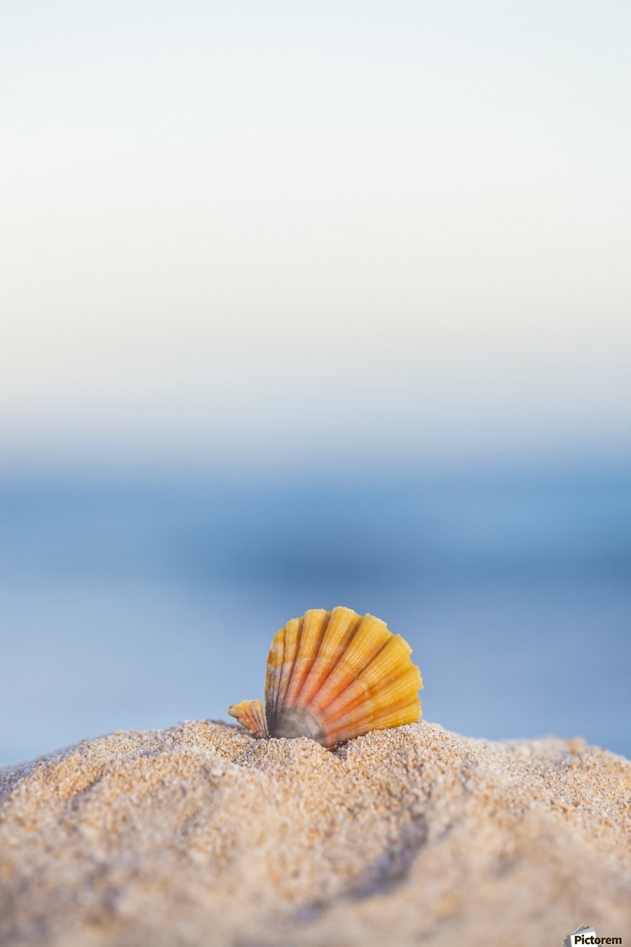 A rare rainbow color Hawaiian Sunrise Scallop Seashell, also known as Pecten Langfordi, in the sand at the beach at sunrise; Honolulu, Oahu Hawaii, United States of America  Print