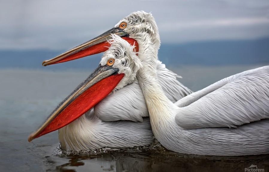 Dalmatian Pelicans  Print