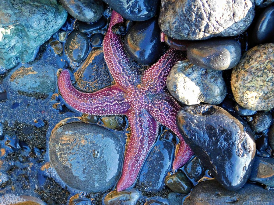Low Tide Starfish  Print