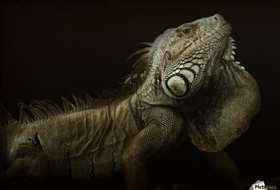 Iguana profile  Print