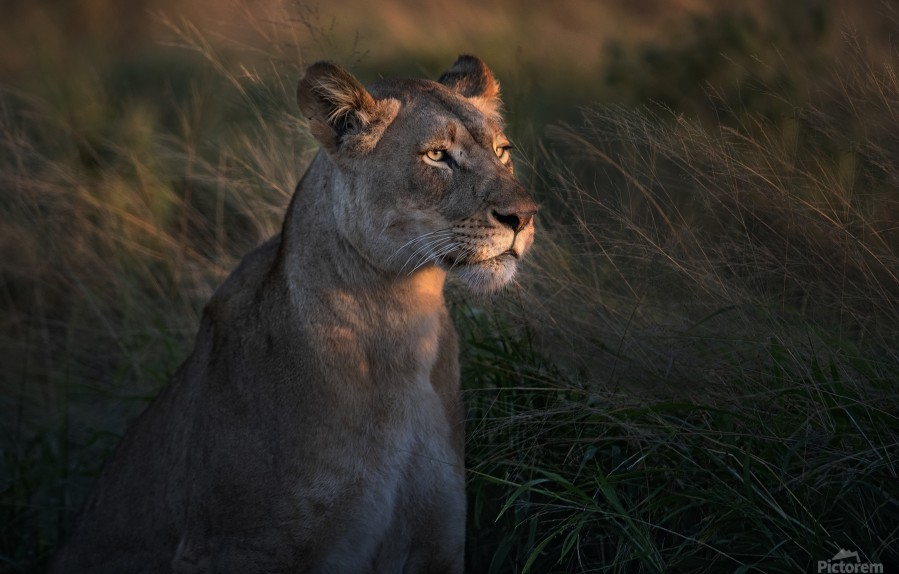 Lioness at firt day ligth  Print