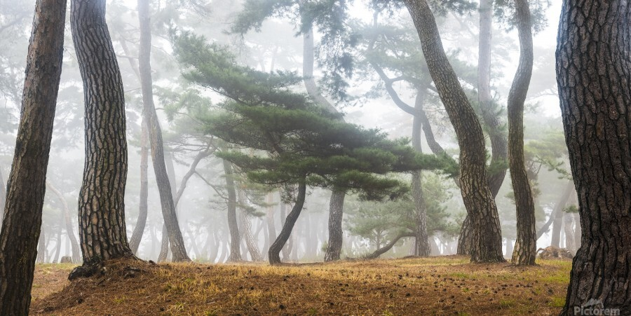 In The Misty Pine Forest  Print