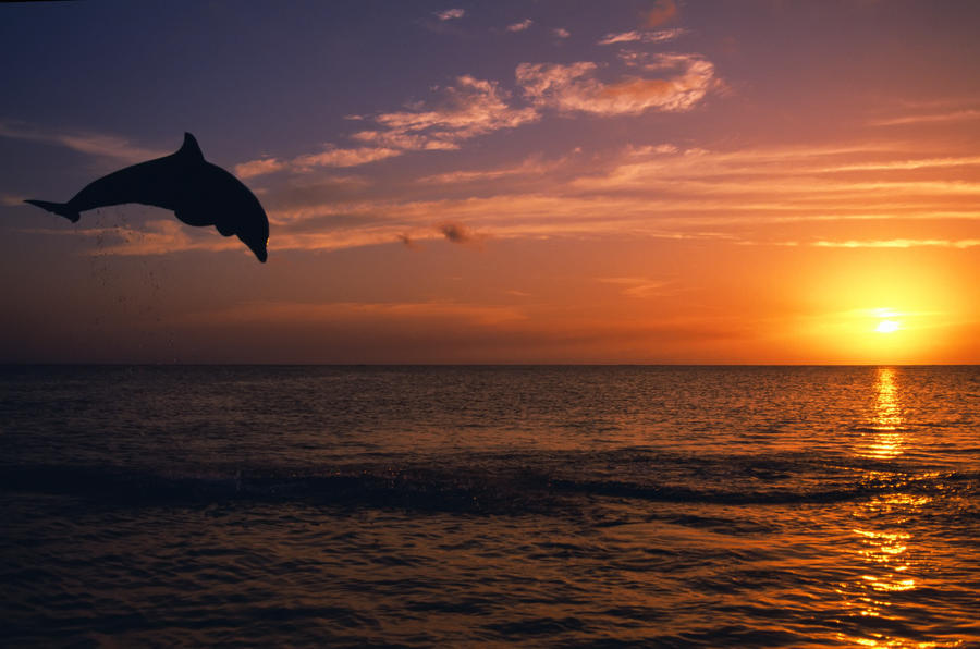 Bottlenose dolphins at sunset