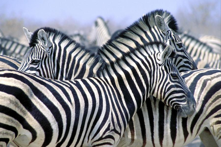 Burchell's Zebra (Equus Quagga Burchellii), Etosha National Park, Namibia, Africa  Print