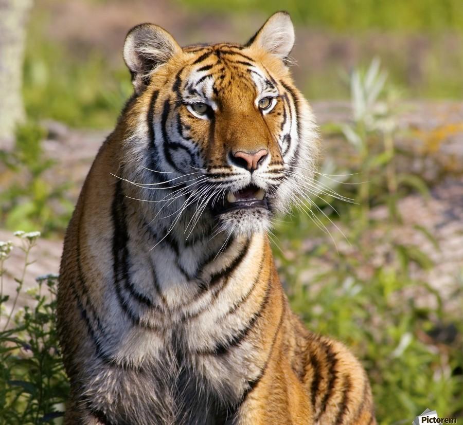 Tiger Watching  Print