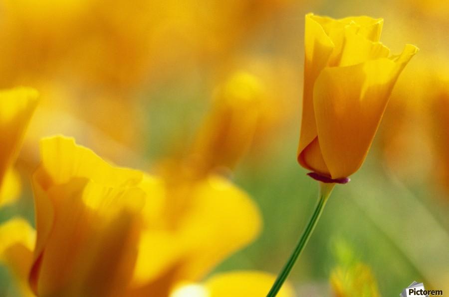 Yellow Poppy  Print