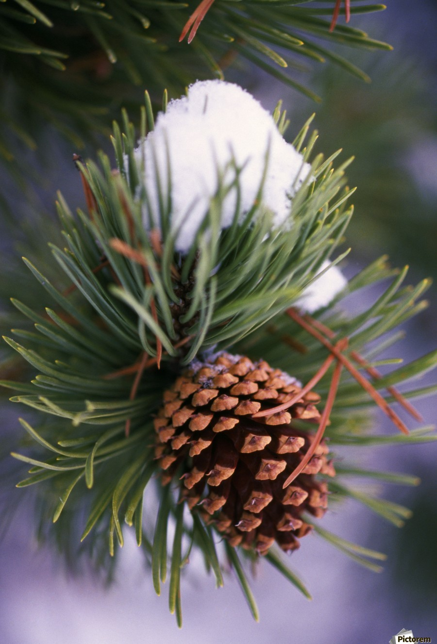 Early Snow On Pine Tree Branch With Pinecone  Print