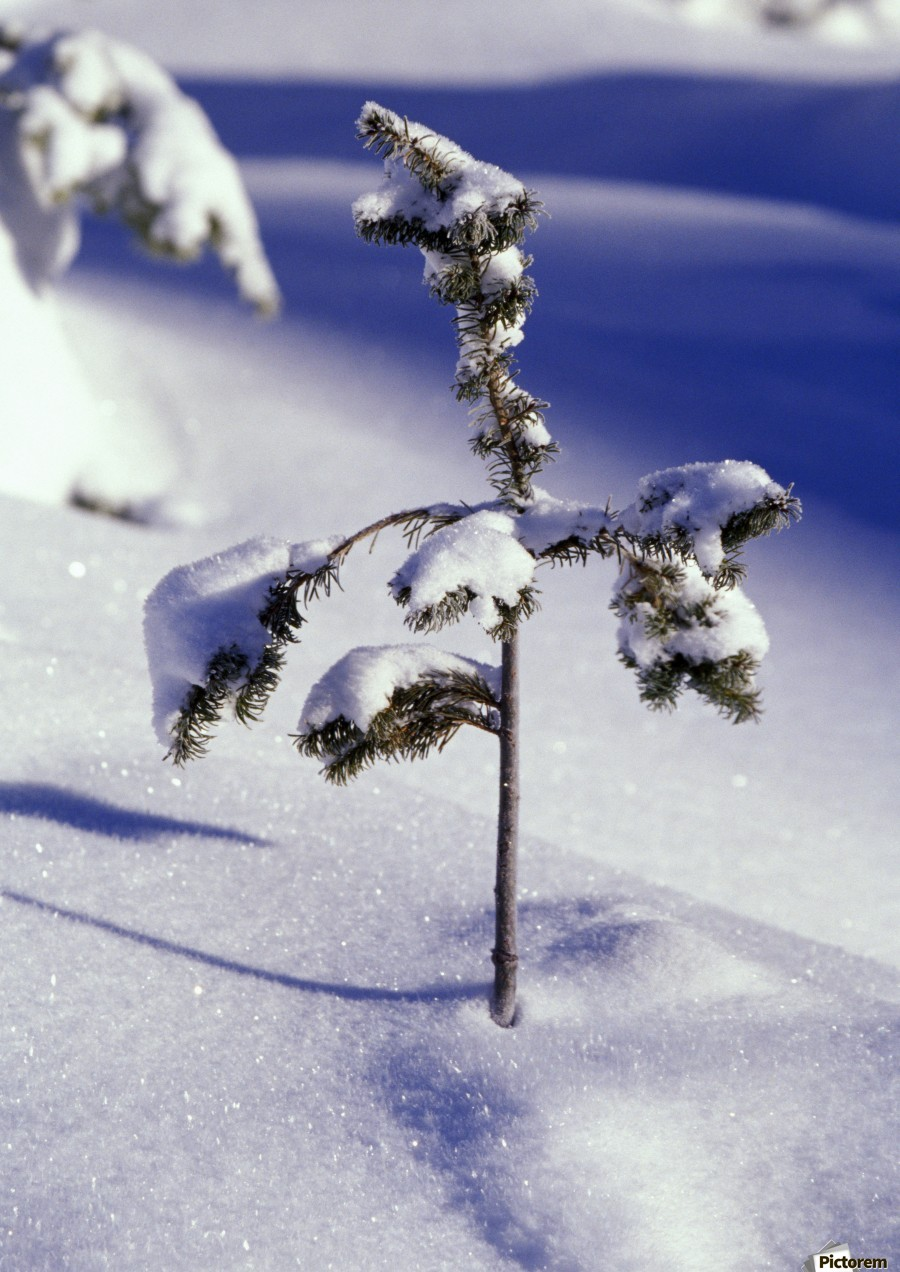 Heavy Snow On Young Pine Tree  Print