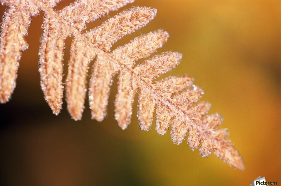 Frost On A Fern Leaf  Print