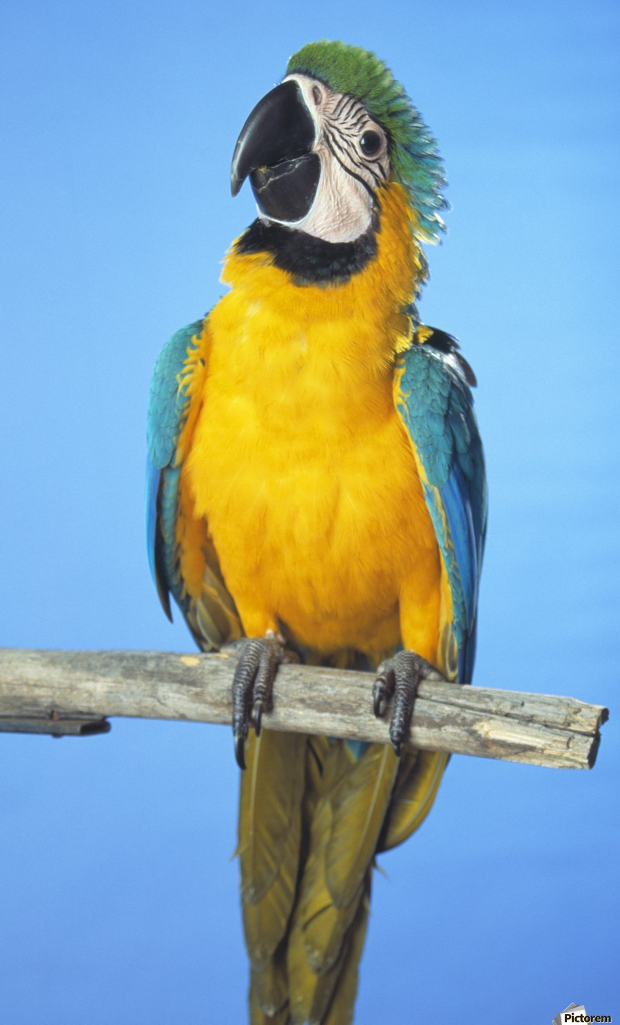 Blue-And-Gold Macaw  Print