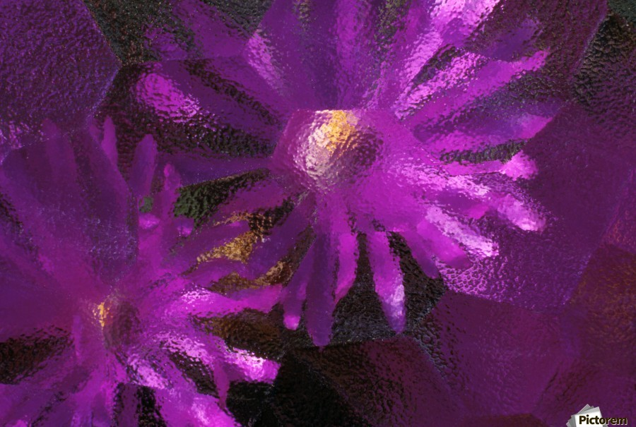 Ice Plant Blossoms Under Ice  Print