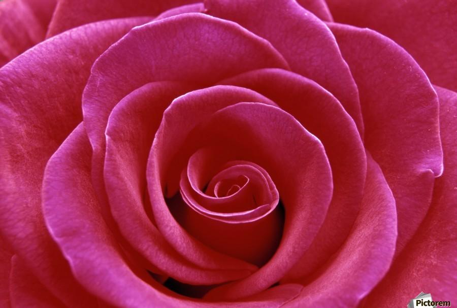 Rose Blossom  Print