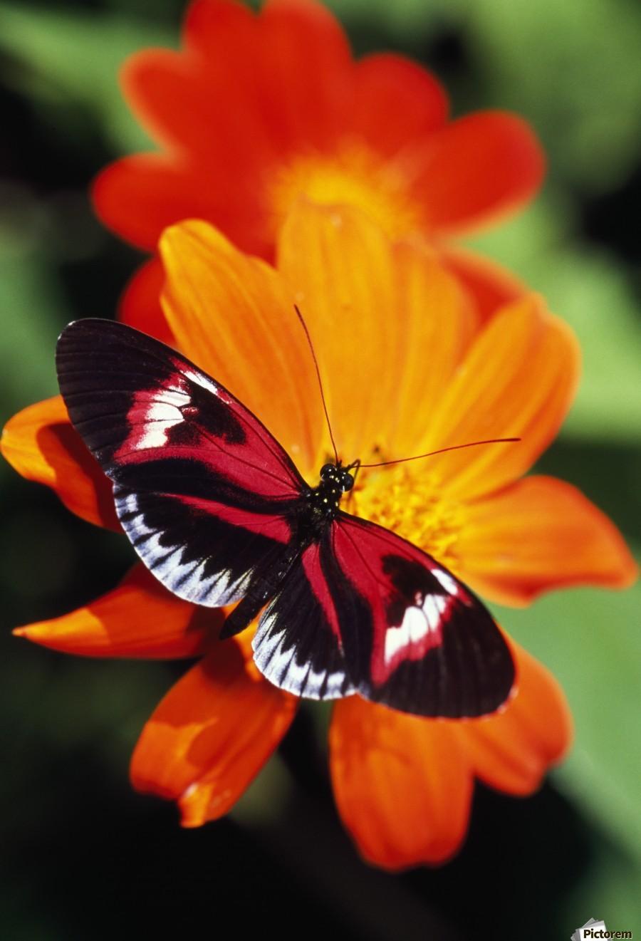 Butterfly On Flower  Print