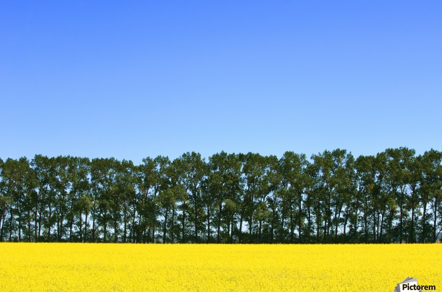 Canola Field And Trees  Print