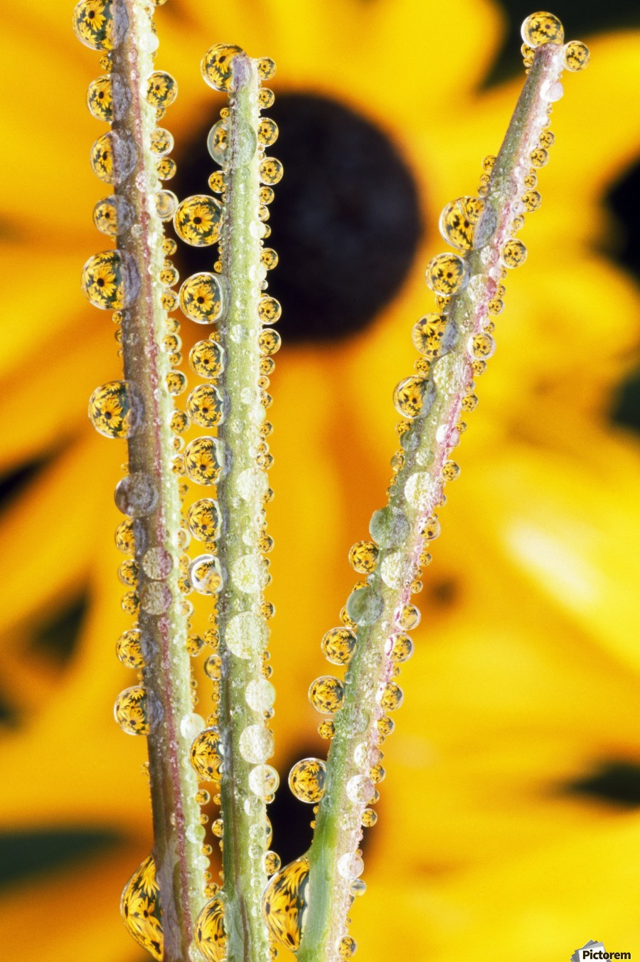 Reflection In Dew Drops  Print
