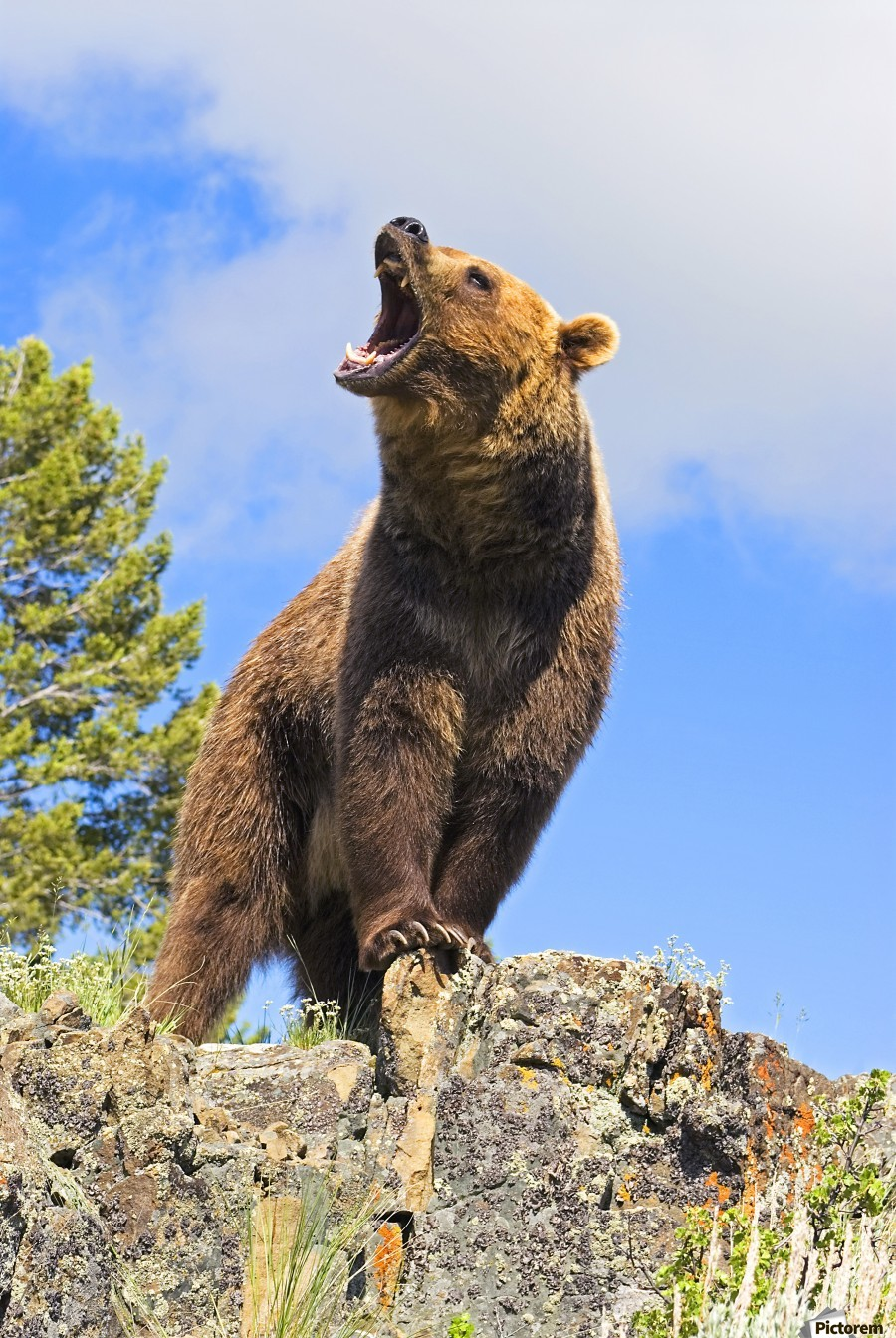 Grizzly Bear Roaring