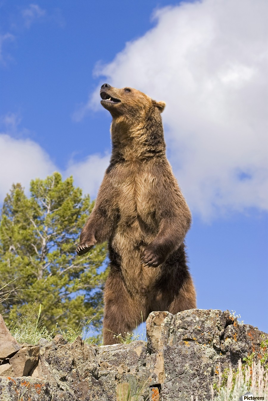 Grizzly Bear Standing On A Ridge Pacificstock Canvas