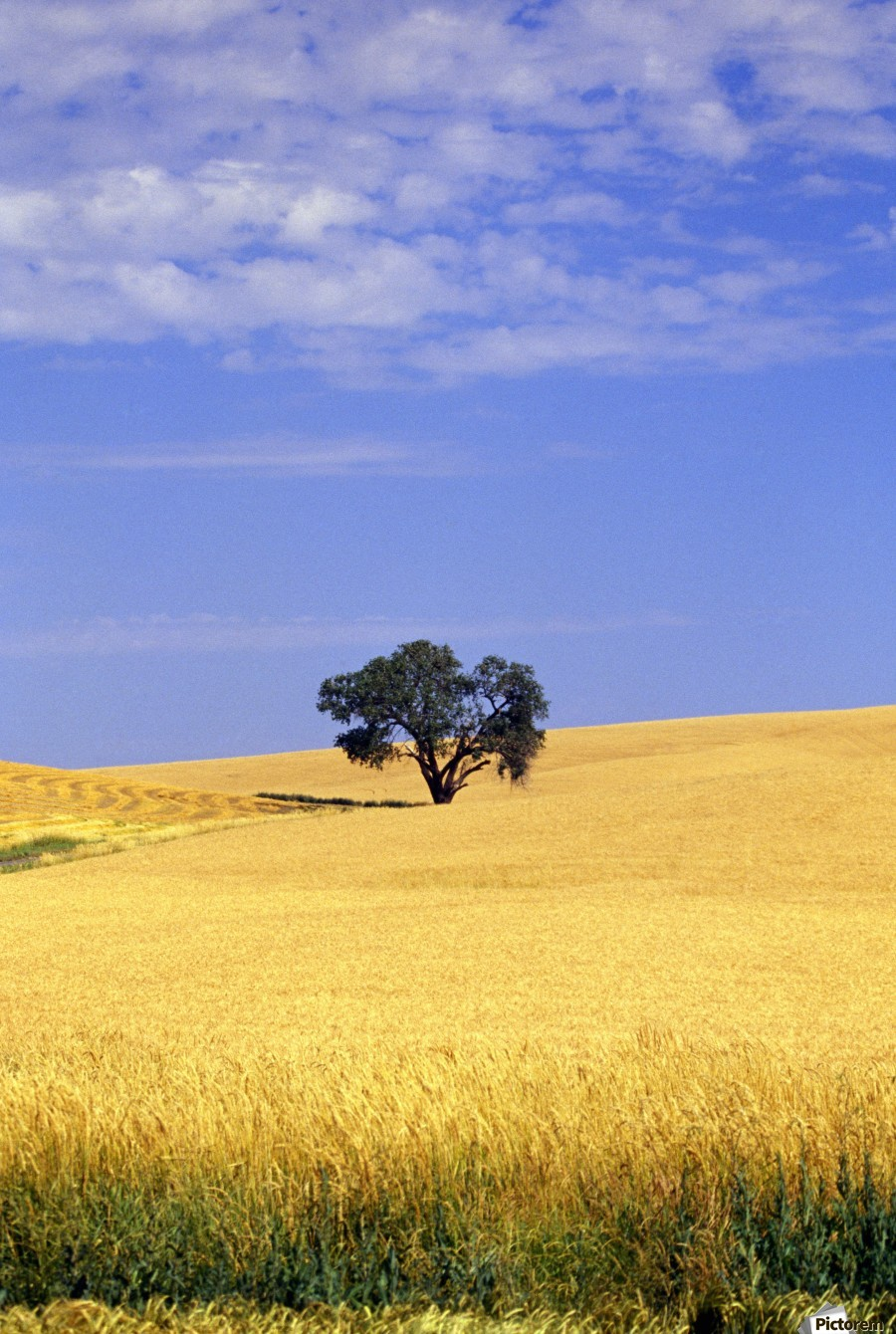 Oak Tree In Wheat Field - PacificStock Canvas