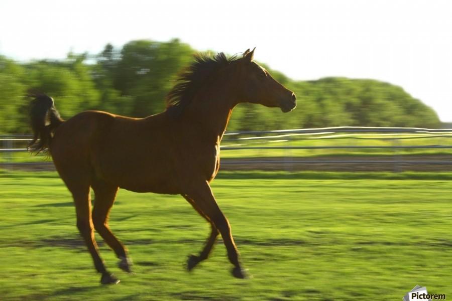 Horse Galloping  Print