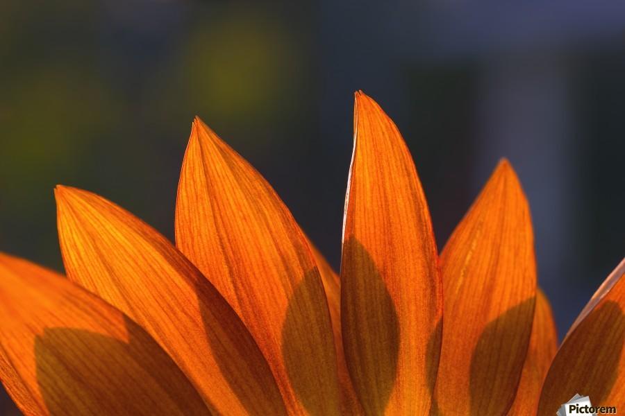 Sunflower Close-Up  Print