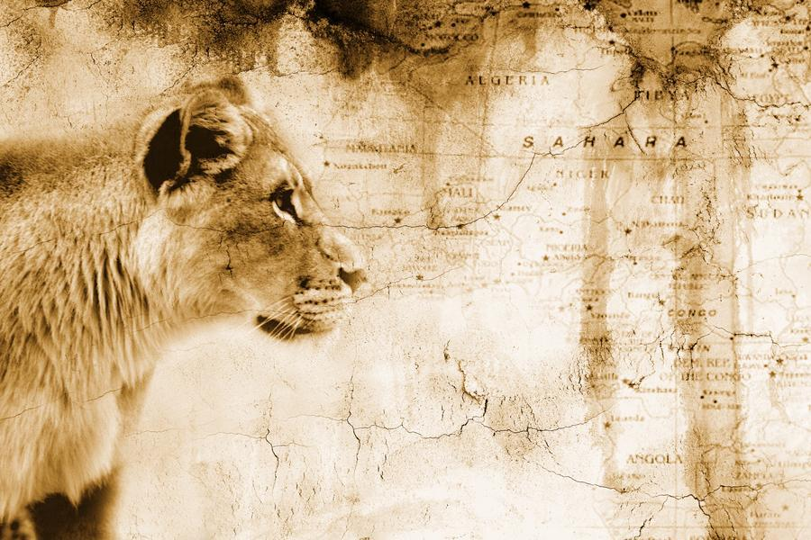 Lion In Front Of An Old Map Of Africa - PacificStock Canvas