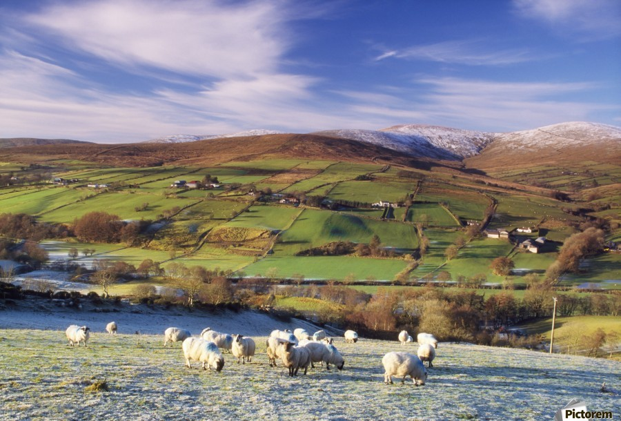 Sperrin Mountains, County Tyrone, Ireland, Sheep  Print