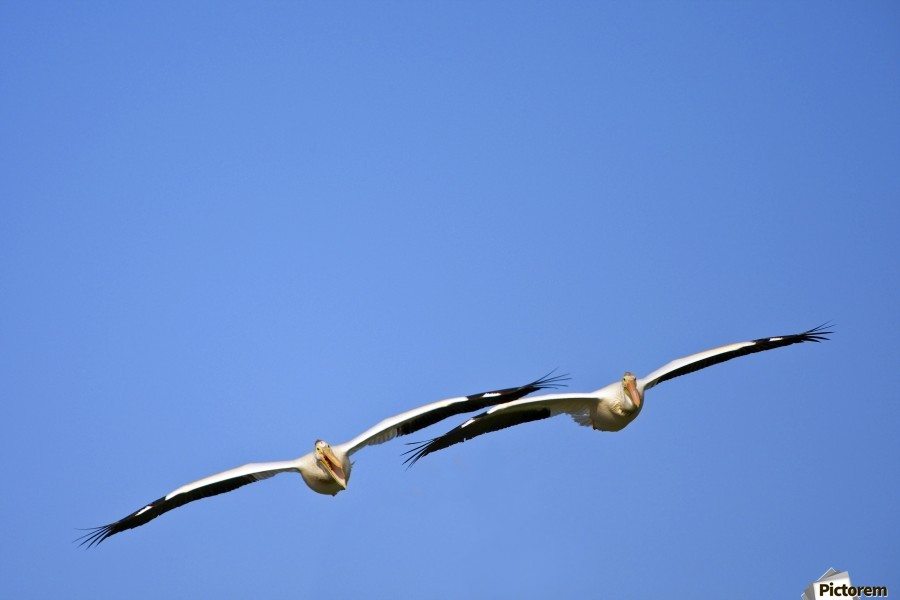 Two Pelicans In Flight  Print