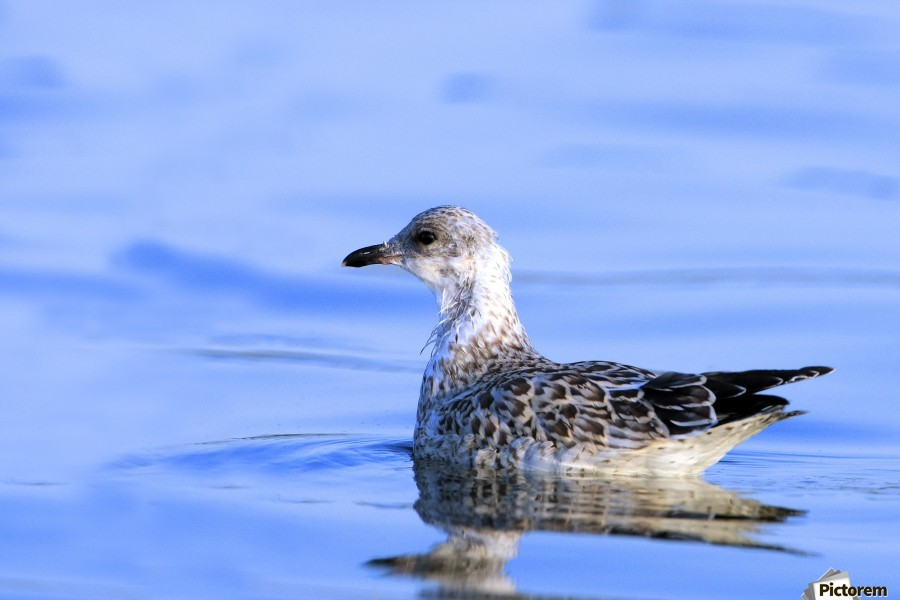 Young Gull Swimming  Print