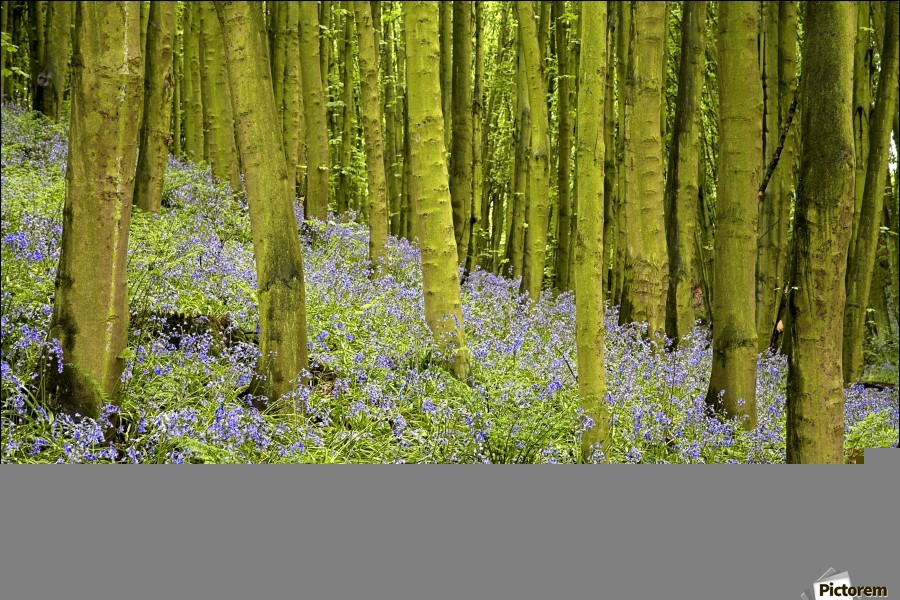 Bluebell Wood Impression  Print