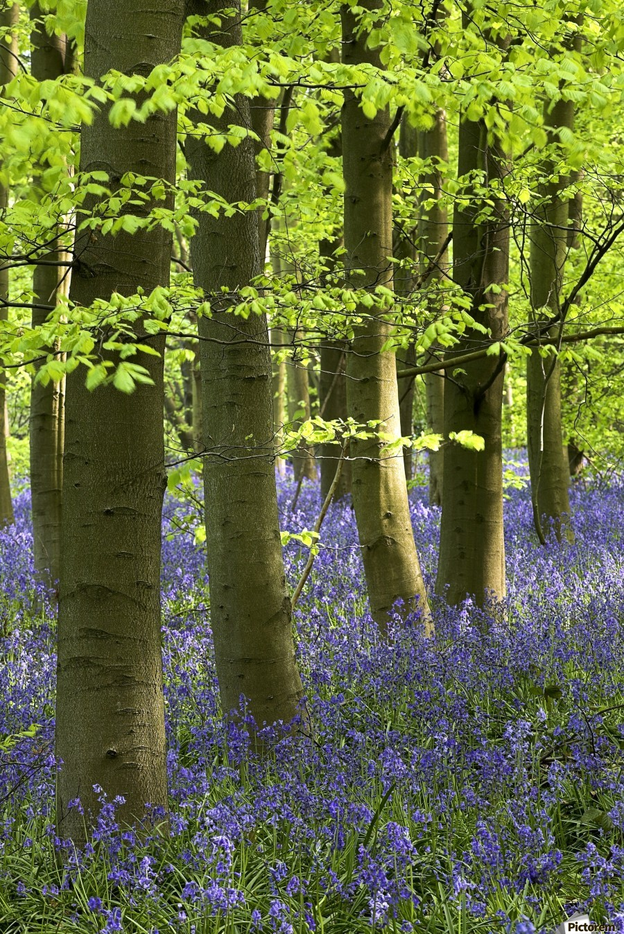 Bluebells In The Woods, Nottinghamshire, England  Print