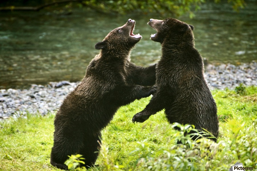 Two Grizzly Bears Fighting  Print