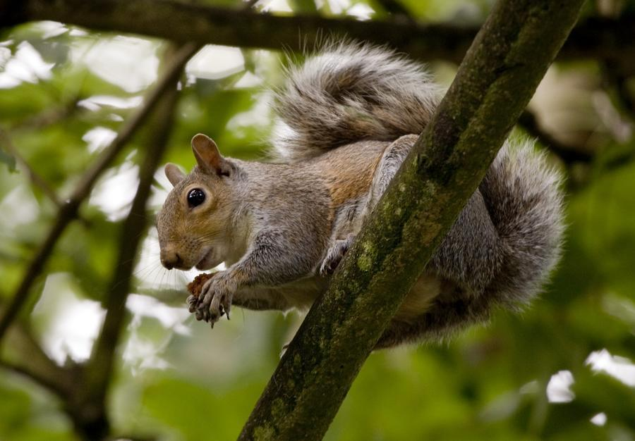 Gray Squirrel On A Tree Branch  Print