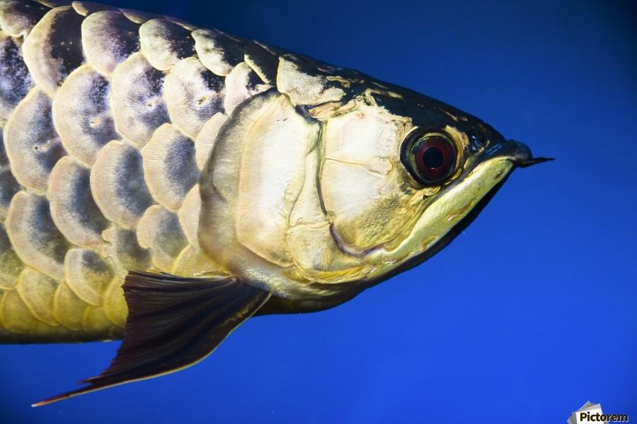 Closeup Of A Fish  Print