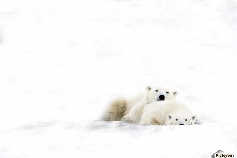 Two Polar Bears Snuggling  Print