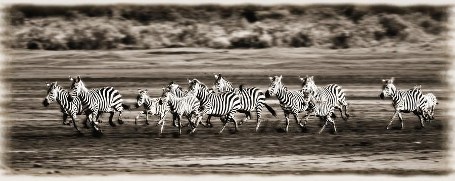 Running Zebras, Serengeti National Park, Tanzania, Africa  Print