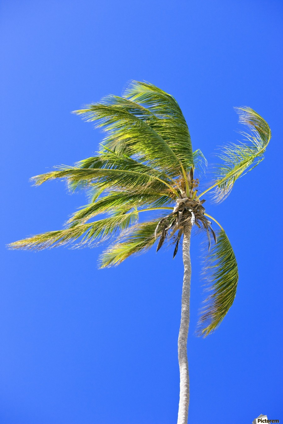 Palm Tree Against Clear Blue Sky  Print
