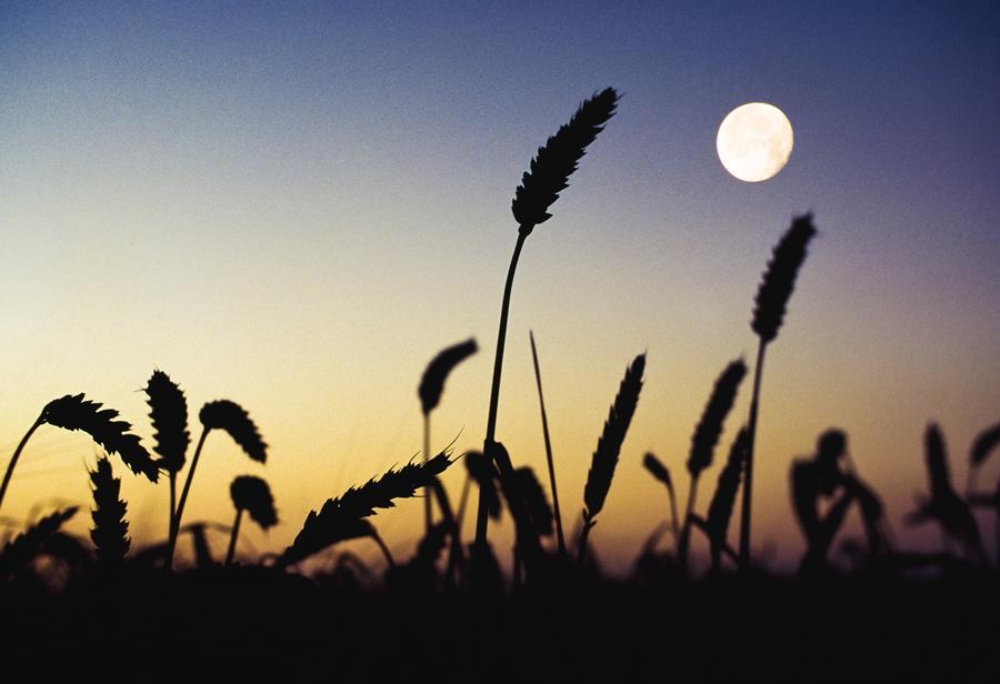 Image result for moon wheat