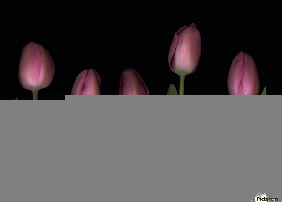 Pink Tulips  Print